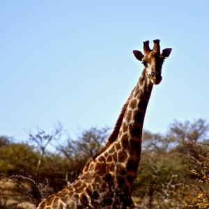 Giraffe, Namibia, Wildlife, Neugier, Tierisch wildes Leben