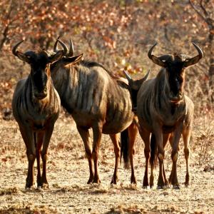 Gnus, Antilopen, Namibia, Wildlife, Safari, work and travel, Tiermedizinische fachangestellte